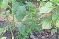 Ґрунтовий гербіцид Фоліо захистить соняшник від амброзії