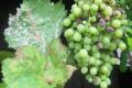Через потепління клімату шкодочинність хвороб винограду зросла в рази