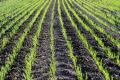 На півдні Херсонщини озимі в гарному стані, - аграрій