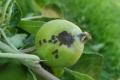 Через холодну весну яблуні погано запилилися, розвивається парша