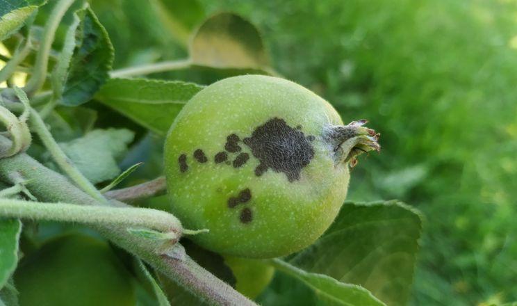 Спеціаліст порадив, як боротися з паршею на яблуні