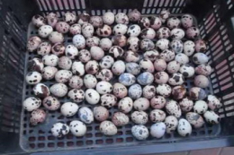 Як зберігати перепелині яйця до інкубації