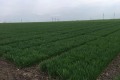 Прохолодна погода стримує розвиток шкідників на посівах