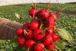Кооператив учасників бойових дій виростив перший врожай редиски