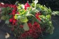 Тепличну редиску в Ужгороді продають у 5-6 разів дорожче, ніж торік