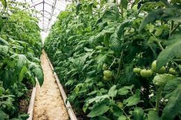 У секторі тепличного томату посилюється конкуренція