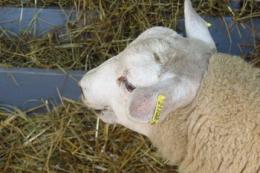 Луганські вівчарі отримають дотацію