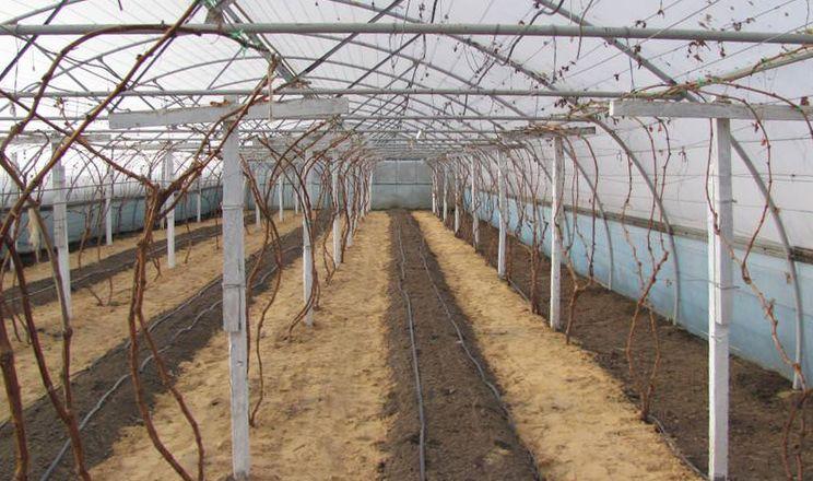 На винограді з мідьвмісних препаратів найефективнішим є гідроксид міді