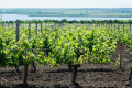 Хороші вина роблять тільки на 45-й широті, де розташовані Бордо, П'ємонт і Криничне, – Плачков