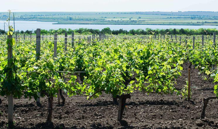 Місцеві сорти винограду стійкіші, вони як діти – виросли тут, – Плачков