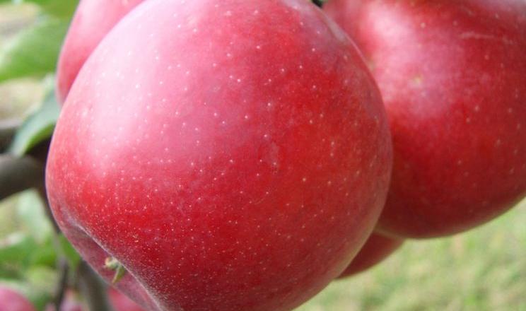 Вчені назвали найстійкіший до посухи і спеки сорт яблук
