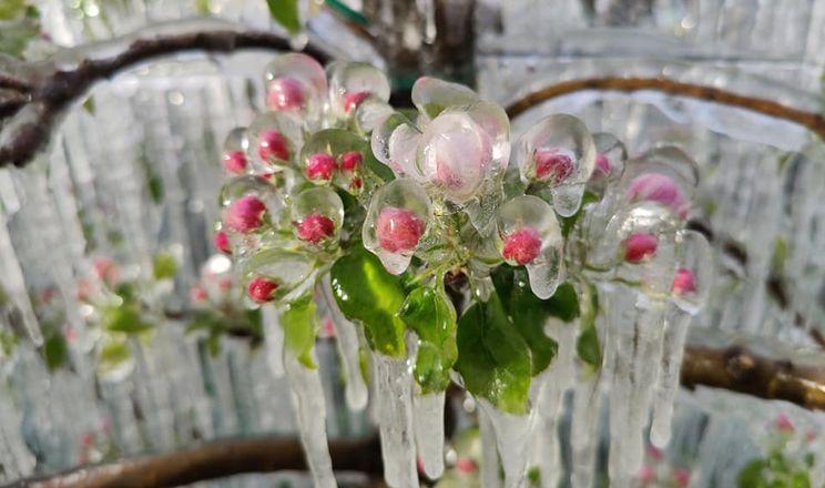 Від приморозків у ЄС можуть постраждати яблуні Гала, Голден та Ред Делішез