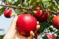 Німецькі садівники побоюються нестачі українських та узбецьких працівників