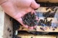 З наступного року «Укрпошта» не перевозитиме бджіл