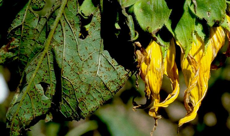 Захист від хвороб та листкові підживлення соняшнику від компанії Agrosfera