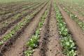 Під цукровий буряк «Астарта» цього року відвела понад 15% площ