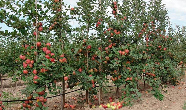 Плодоношення яблуні Дміана