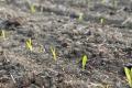 Застосування якісних гуматів забезпечує приріст урожайності кукурудзи