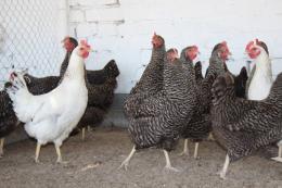 Для профілактики сальмонельозу птахогосподарству треба мінімізувати контакти з іншими фермами