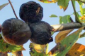 Учені назвали ефективні препарати проти марсоніозу волоського горіху