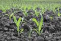 Ґрунтові гербіциди на кукурудзі мають різні механізми дії