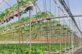 Ротаційна система дозволяє подвоїти врожай полуниці