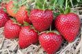 Урожайність полуниці Вайбрант на Херсонщині становить до 36 т/га