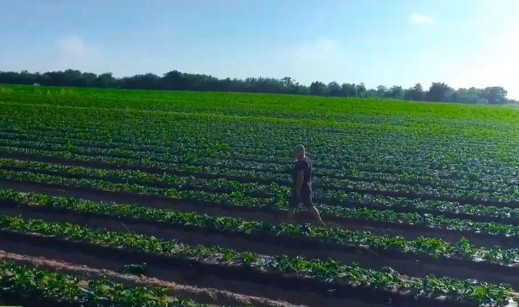 На Херсонщині почала достигати перша полуниця відкритого ґрунту