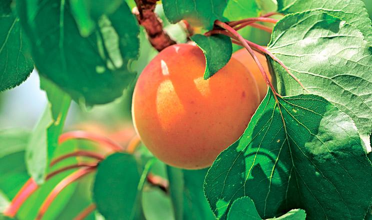Сігнум® на захисті кісточкових та ягідних культур від хвороб