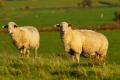 Які породи овець дають найбільше молока