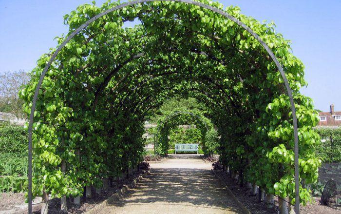 Аркова шпалера окупилася в перший рік повного плодоношення винограду