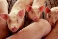 Порушення норм годівлі часто призводить до патології репродукції свиней