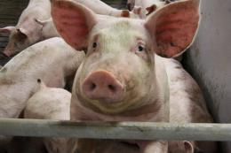 Подорожчання кормів стримуватиме розвиток свинарства