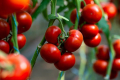 На V-подібних шпалерах отримують до 31 кг томатів з квадратного метра