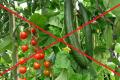 5 причин чому не можна вирощувати огірки та помідори поряд