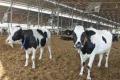 Відсоток кульгавості корів повністю залежить від ефективності роботи ферми