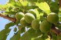 Холодна весна затримує врожай ягід та кісточкових в Угорщині