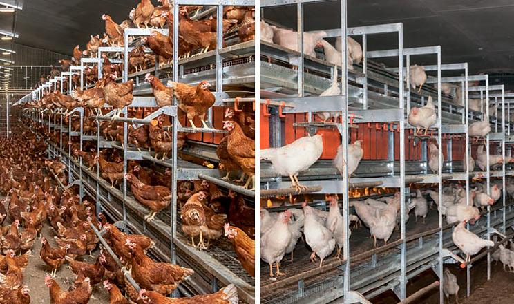 NATURA Step – сучасний пташник для виробництва яєць