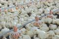 80,6% поголів'я птиці у промисловому сегменті утримують 36 підприємств