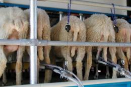 Для виготовлення сиру овече молоко часто змішують із коров'ячим чи козячим
