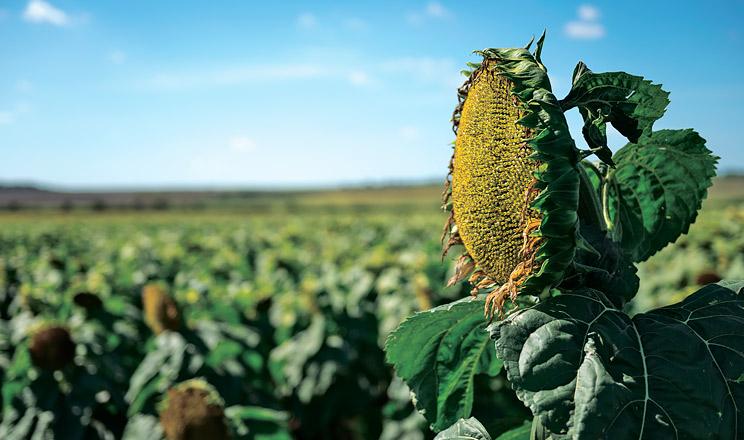 Посіви соняшнику масово уражені грибними хворобами