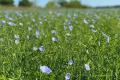 «Дунайський аграрій» уперше посіяв майже 50 га органічного льону