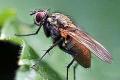 Польський фермер поділився досвідом боротьби з капустяною мухою
