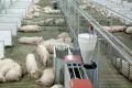 Як змінюється годівля свиноматок під час поросності