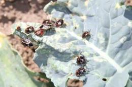 В Україні на капусті з'явилися коричневий мармуровий клоп та білокрилка