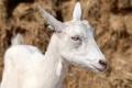 Дніпропетровська ферма планує наростити поголів'я кіз до 300