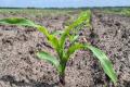 На листках кукурудзи на Чернігівщині проявляється холодовий стрес, - KWS