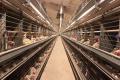 За кліткового утримання птиці інтенсивність зараження еймеріозом менша