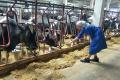 Буковинське господарство запустило нову доїльну залу