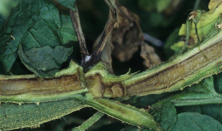 Некроз серцевини стебла томатів розповсюджується через пошкодження